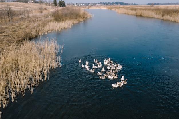 Гуси в воде, плавают по реке