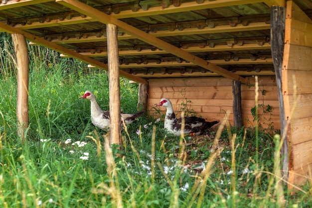 Geese in a kennel on a farm.