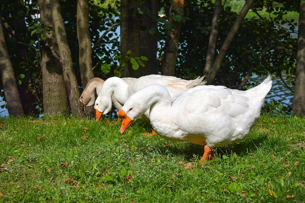 Geese in the meadow