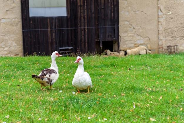 Гуси на пастбище на ферме в деревне