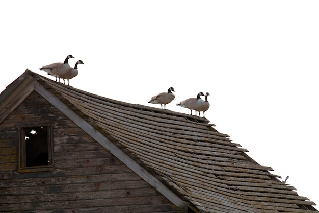 Geese perched on top of dilapidated roof