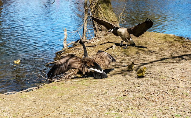 Geese protecting their young