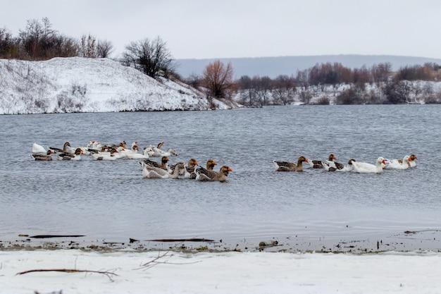 ガチョウは雪に覆われた海岸の近くで冬に川に沿って泳ぐ