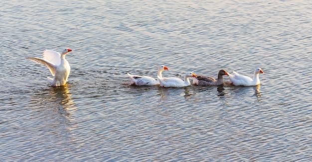 거위는 강을 따라 수영합니다. 물새_