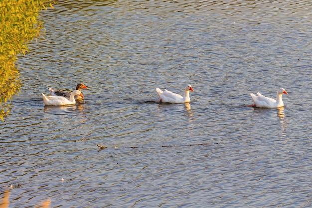 ガチョウは秋に川岸の近くで泳ぐ