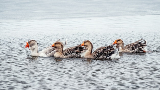 Geese swim on the river in winter