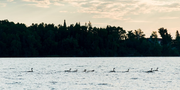 Geese swimming in a lake, kenora, lake of the woods, ontario, canada