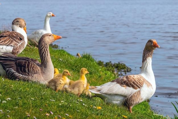 강둑에 작은 노란 새끼 기러기와 거위