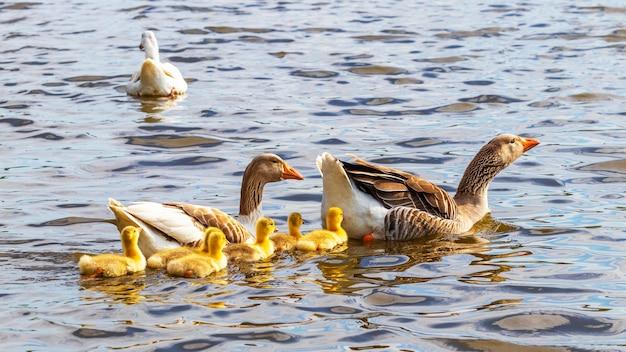 작은 노란색 새끼 기러기가 강을 따라 헤엄칩니다.