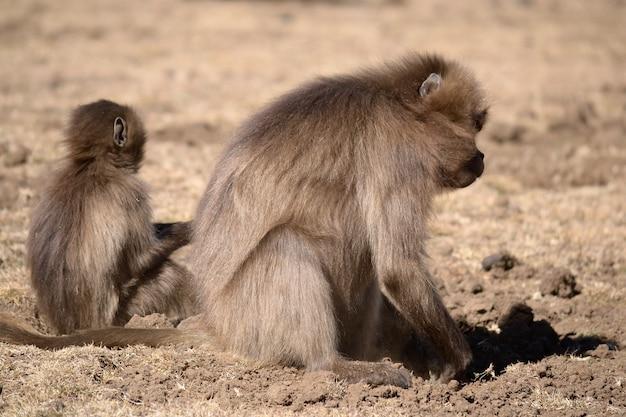 彼の自然の生息地、エチオピア、シミエン山地国立公園のゲラダヒヒ