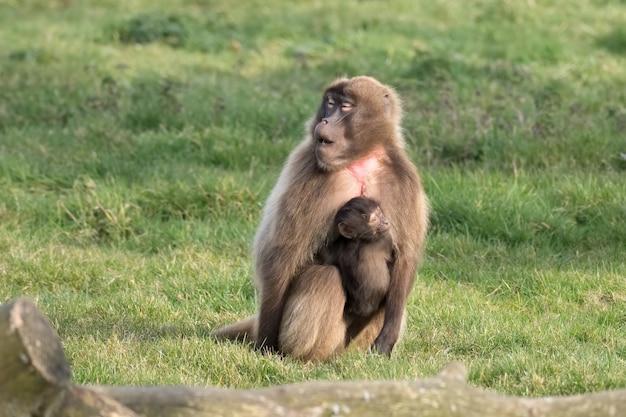 Gelada baboon (theropithecus gelada) with baby