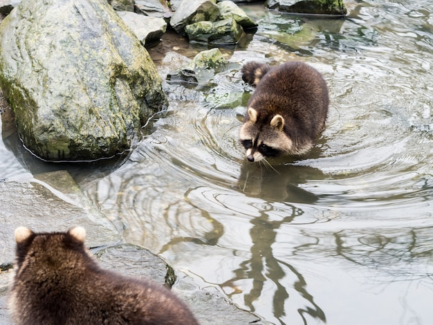 Gelsenkirchen, germany - february 11, 2017: a raccoon swimming near a big rock to an other raccoon at zoom erlebniswelt
