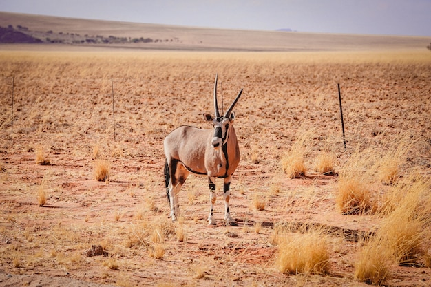 Gemsbok antelope in the middle of the desert in namibia, africa