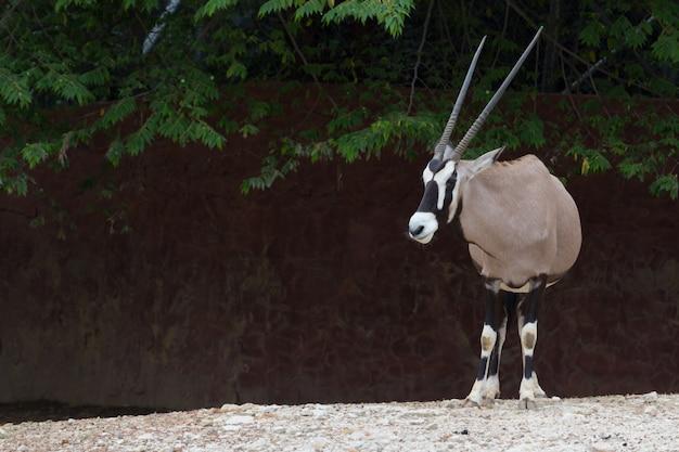 Gemsbok antelope (oryx gazella) deer, south africa