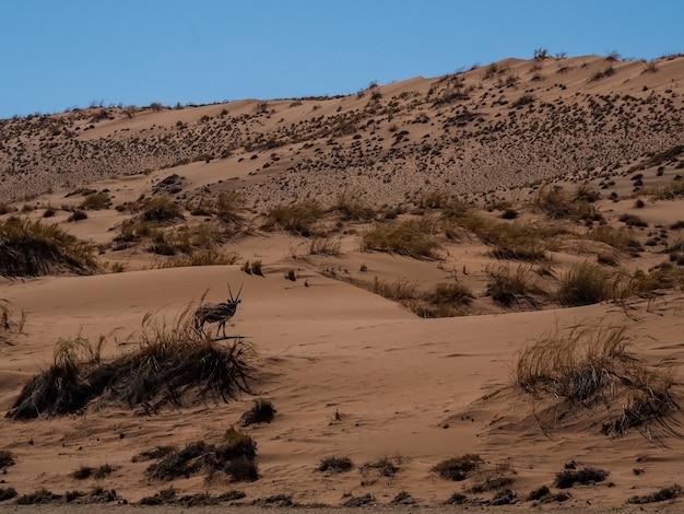 Gemsbok walking in vast grassland desert under blue sky