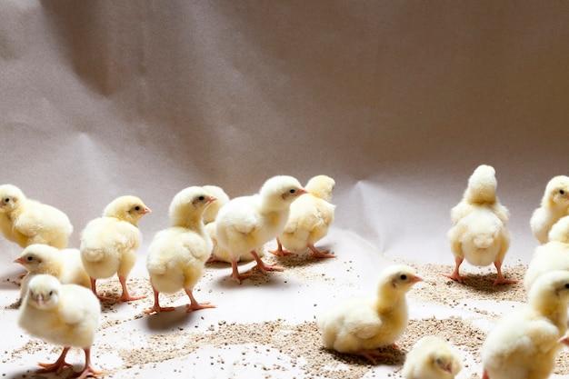 가금류 농장에서 유전자 변형 된 흰살 닭고기