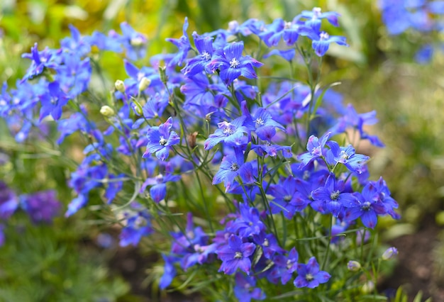 Gentiana flowers growing on a flower bed