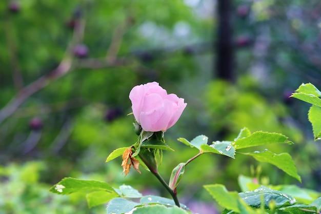 정원 봄 여름에 부드러운 꽃 배경 로즈 버드