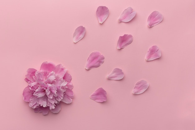 Gentle furry peony and flower petals on pink background. top view.