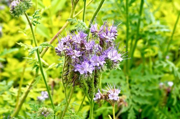 緑の草を背景にムラサキ科のハゼリソウ、ブルータンジーまたはパープルタンジーの名前で知られているphaceliatanacetifoliaの穏やかなライラックの花