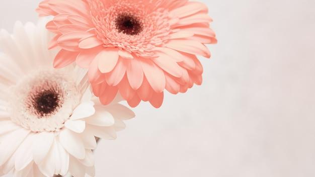 穏やかなピンクのガーベラの花をクローズアップ。コピースペースを持つ自然な花の背景。春の時間、自然の概念のグリーティングカード。新鮮なガーベラのある静物。セレクティブフォーカス。