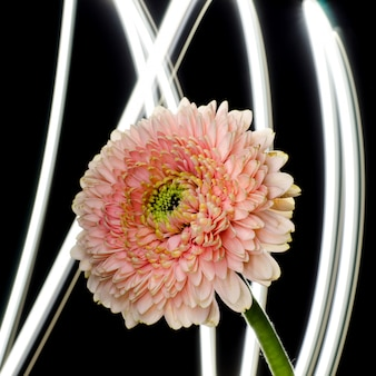 Gentle pink gerbera flower in front of abstract background. floristic backdrop.