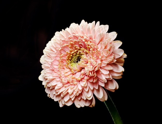 Gentle pink gerbera flower in front of black background. simple floristic backdrop.