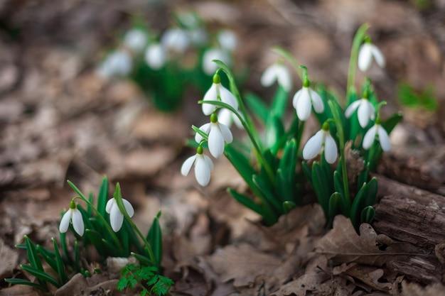 穏やかなスノードロップは、古い葉のクローズアップを通して成長しました。最初の花のある美しい春の風景