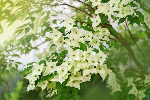 日光の下で穏やかな白いハナミズキの花。開花ブッシュ。セレクティブフォーカス。