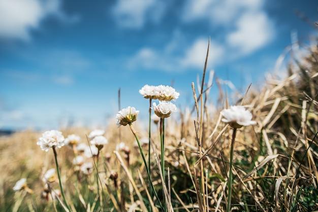 晴れた日の青空の下の丘の斜面の乾いた草が茂った牧草地に生えている穏やかな白い花