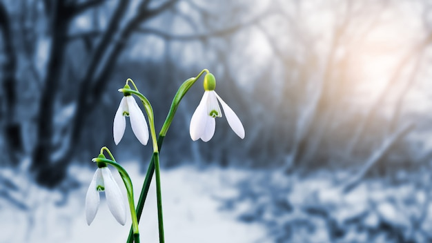 Gentle white snowdrops on the background of the forest in the evening sunlight