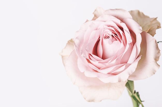 Нежно-розовая роза. романтическая пастельная цветочная открытка.