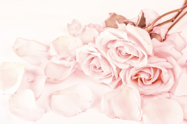 Gently pink roses on a coral background soft focus