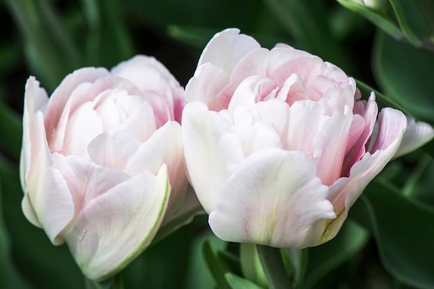 Нежно-розовый тюльпан в саду