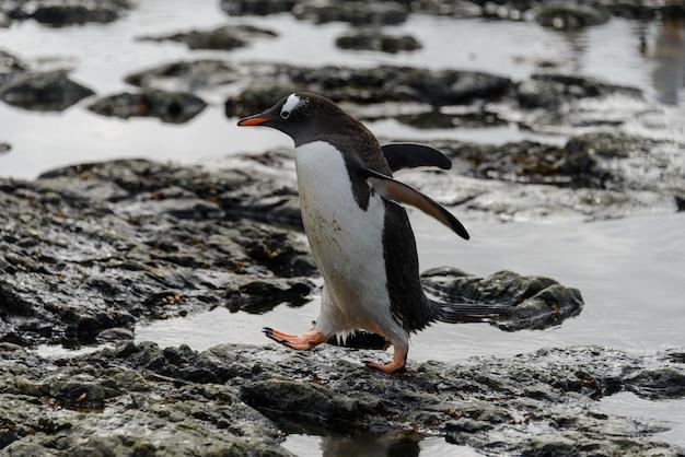 南極のビーチに行くジェンツーペンギン
