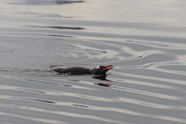 Gentoo пингвинов в воде