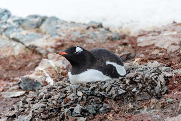 巣に横たわるジェンツーペンギン