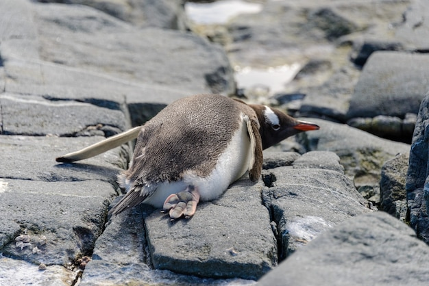 南極の岩の上に横たわるジェンツーペンギン