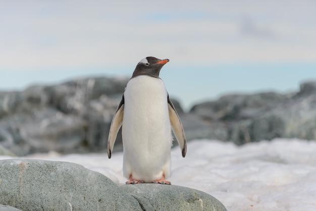 南極の雪の上のジェンツーペンギン