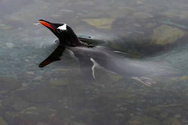 水の下で泳ぐジェンツーペンギン