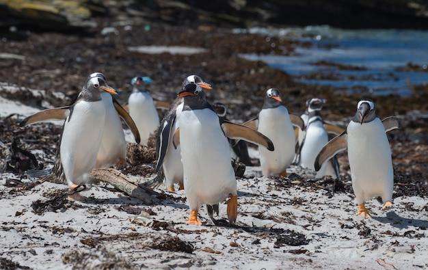 Gentoo penguin на пляже