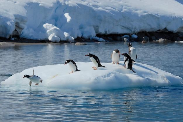 Gentoo penguin прыгает со льда