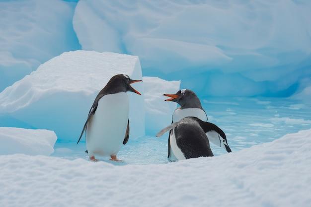 Gentoo penguins на льду