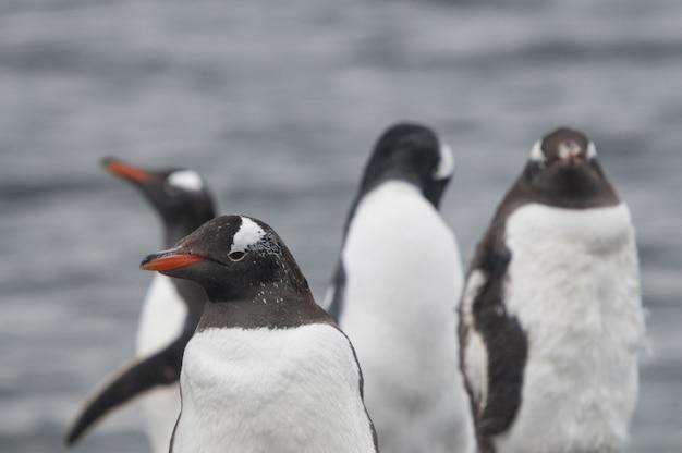 Съемка крупного плана милых пингвинов gentoo стоя на каменистом песке
