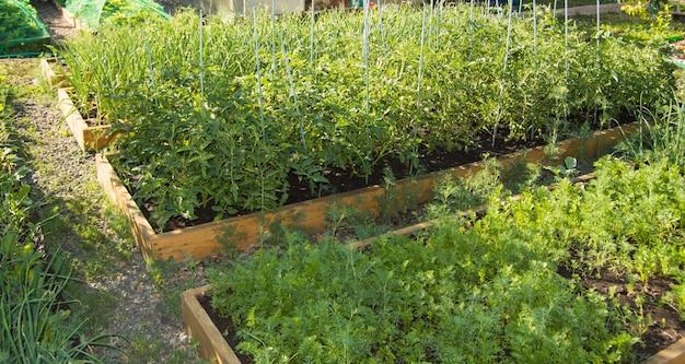 Геометрическое расположение деревянных грядок с посаженными помидорами, морковью в саду, обустройство сада.