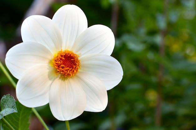 Georgina flower