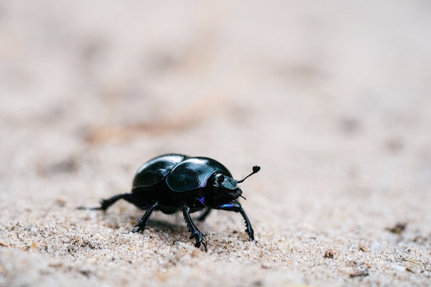 Geotrupes stercorarius walking on a sandy meadow