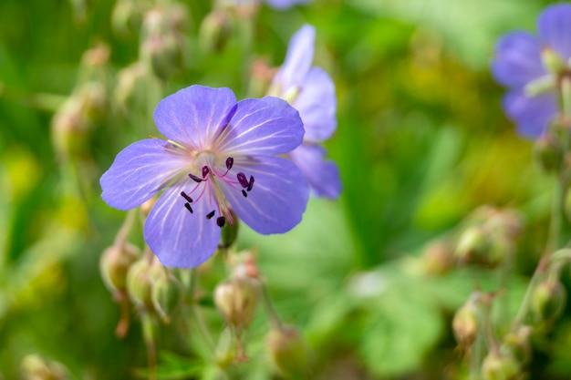 Цветок герани в саду