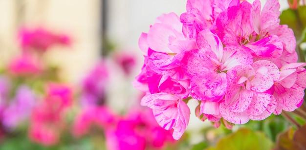 Герань в летнем саду. пеларгония листьев плюща. герани пелтатум. декоративные растения.