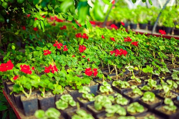 Geranium pelargonium in greenhouse of botanical garden.